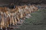 hunted foxes displayed on a farm fence